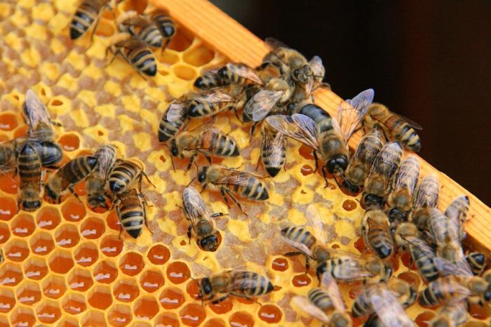 Пчелки на сотах