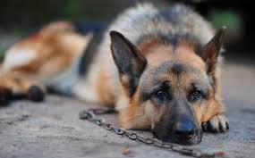 Держать ли собаку на цепи?