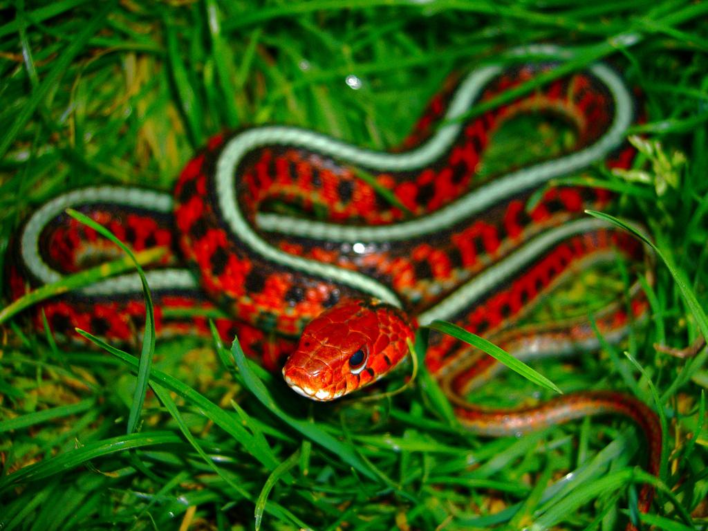 Змея подвязочная обычная
