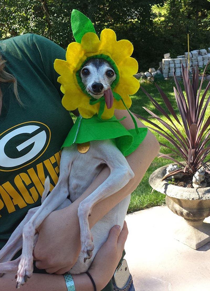 derpy-dog-greyhound-sticking-tongue-zappa-48