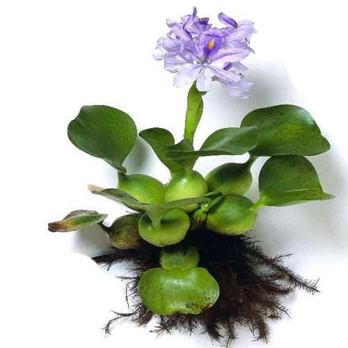 Эйхорния отличная или водяной Гиацинт (Eichhornia crassipes).