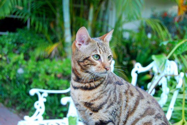Тойгер кошки по-настоящему привязываются только к одному члену семьи, с ним они готовы проводить максимум времени. Однако тигренок не будет навязываться, если увидит, что хозяин сейчас чем-то занят
