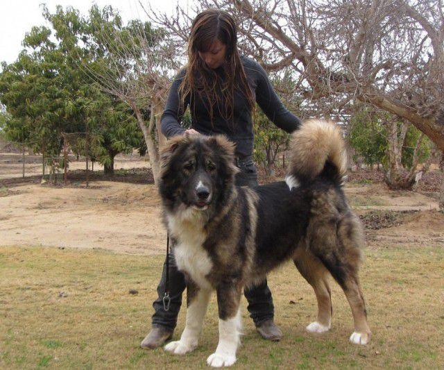 Самые редкие породы собак  Порода, собака