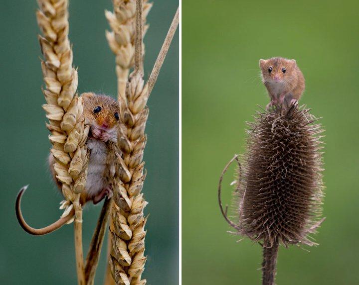 фотографии крошечных и забавных диких мышек (21)