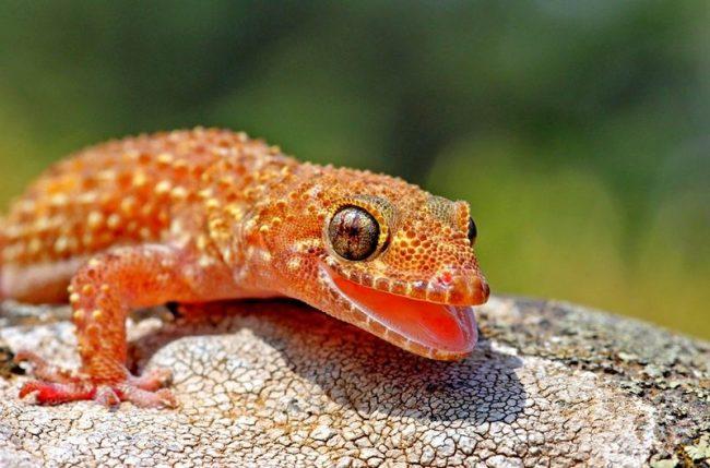Живущий в террариуме геккон домашний, может научиться петь. Знатные певцы гекконы токи. Однако, уж больно их песни напоминают кваканье