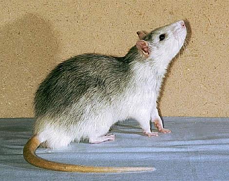 Стандартная крыса