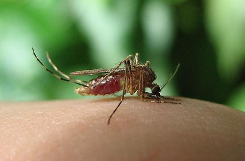 6 растений, которых боятся комары. Проведи лето с комфортом