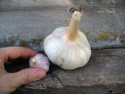 Как я выращиваю чеснок-великан из некондиции