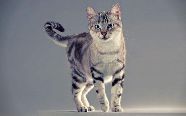 Интеллигентная и аристократичная американская короткошерстная кошка подкупает многих своим безупречным поведением и неприхотливостью в уходе