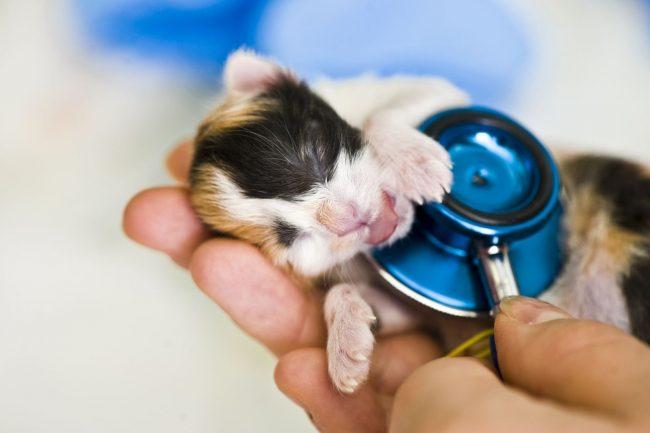 Вы могли бы подумать, что кошка сама прекрасно справится с родами, но роль хозяина в процессе родов кошечки сложно переоценить. Вы должны быть все время рядом, и оказывать в любой момент помощь