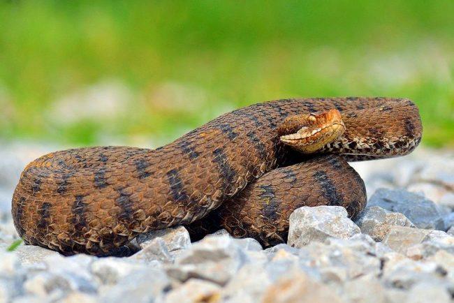 Гадюка. Окраска змеи варьируется от светло-бурого до черного цветов. На спине имеется извилистая полоса из темных пятен
