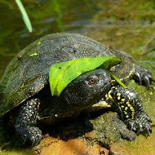 Так выглядит болотная черепаха