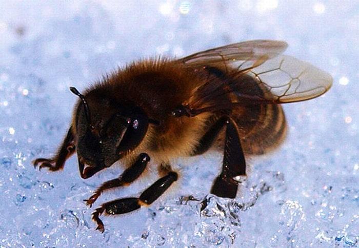 Пчела на снегу