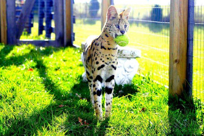 Такая кошка с удовольствие играет в различные подвижные игры. Уделяйте ей больше внимания!