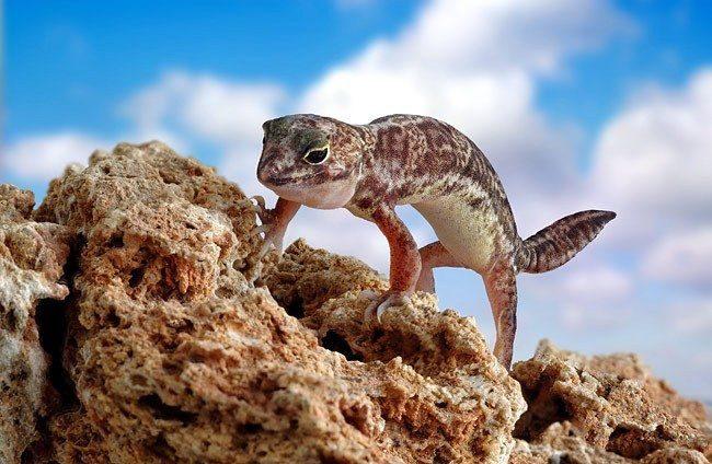 Геккон. Гекконы покорили все шесть континентов. Маленькие и средних размеров ящерицы расселились в тропических и субтропических областях по всему земному шару