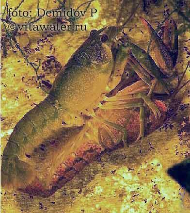 Спаривание Procambarus cubensis