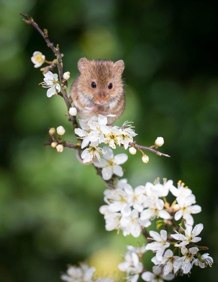фотографии крошечных и забавных диких мышек (20)