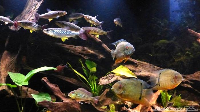 Аквариум биотоп с Северумами (Heros efasciatus) 3.
