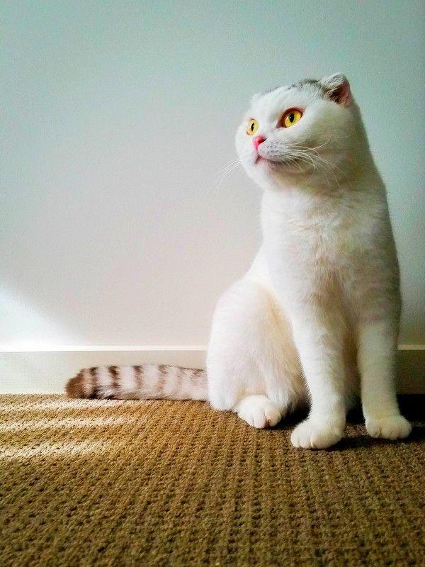 Очаровательный белый шотландец с полосатым хвостом