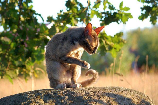 Главной особенностью кошек породы корниш-рекс является короткая кучерявая шерстка