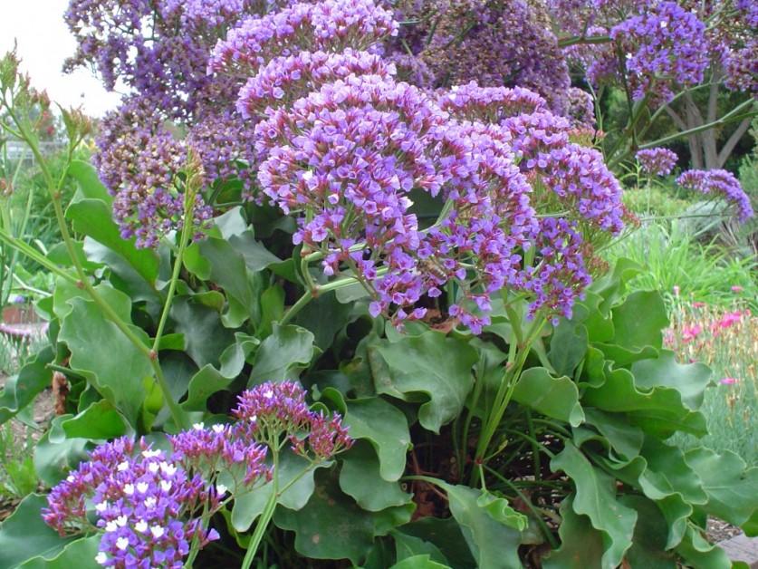 Цветы лимониум выращивание 19