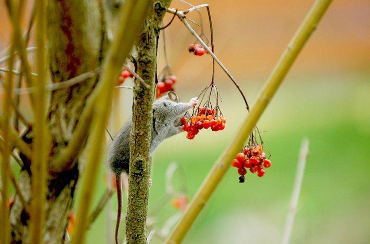 фотографии крошечных и забавных диких мышек (13)
