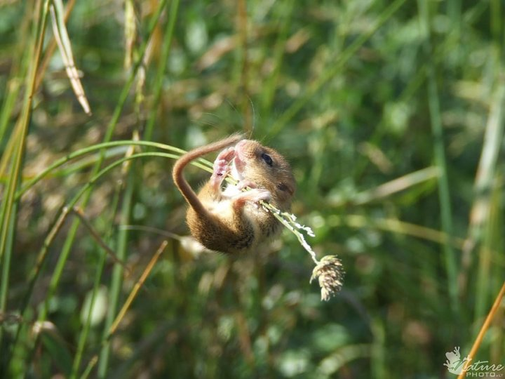 фотографии крошечных и забавных диких мышек (17)