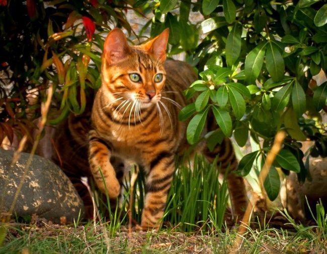 Радоваться общению с домашним тигренком – то еще удовольствие! Ведь тойгер кошки унаследовали величавость и степенность полосатых обитателей саванны. Но, в отличие от них, эти кисы имеют покладистый характер, обожают играть с детьми и очень преданы своему хозяину