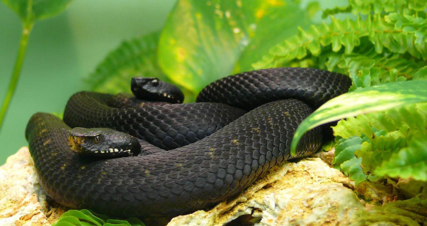 Смотреть Змея Черная Мамбу