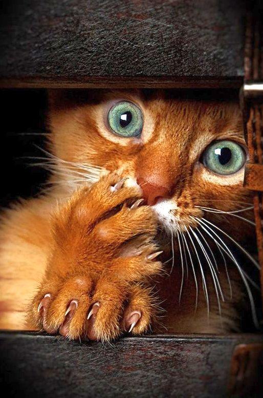 Котята сомалийской кошки очень игривы, любят играть в прятки и прятаться в неожиданных местах