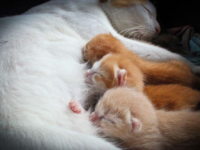 Кошка после родов нуждается в усиленном питании. Кормить мамашу надо 5-6 раз в день легкой, нежирной пищей, которую, возможно, придется приносить ей прямо в ящичек, если она не хочет оставлять котят
