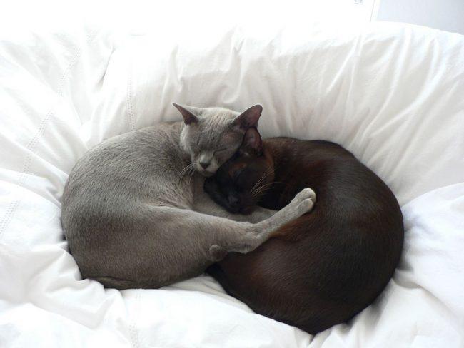 Бурманская кошка хорошо ладит с другими животными в доме, однако не отдает пальму лидерства никому