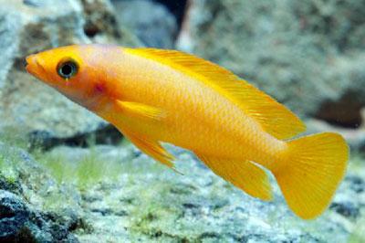 Танганийская цихлида в аквариуме
