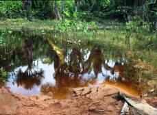 Вода в этих биотопах часто окрашена в коричневый цвет.