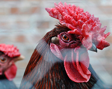 Куры породы Красношапочная, Красношапочные Куры, Derbyshire Redcap Chickens