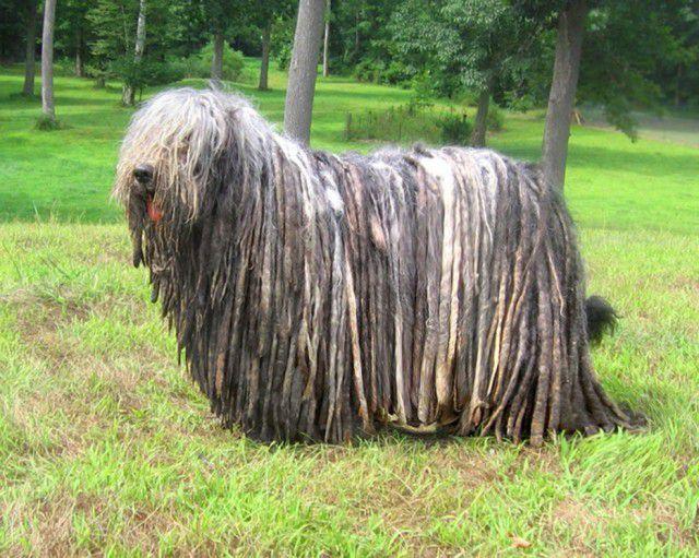 10. Бергамская овчарка Порода, собака