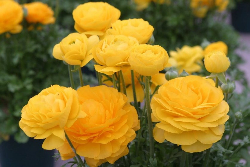 157327__golden-ranunculus-persian-buttercups_p