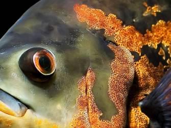 Глаза и рот Астронотуса также крупные.