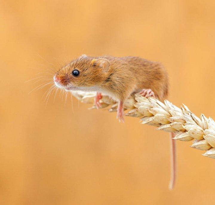 фотографии крошечных и забавных диких мышек (24)