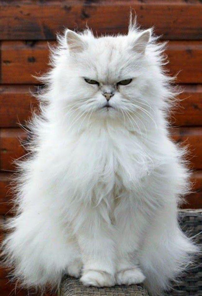 Персидские кошки в силу селекционного отбора получились самыми домашними из всех пород. К уличной жизни они не приспособлены