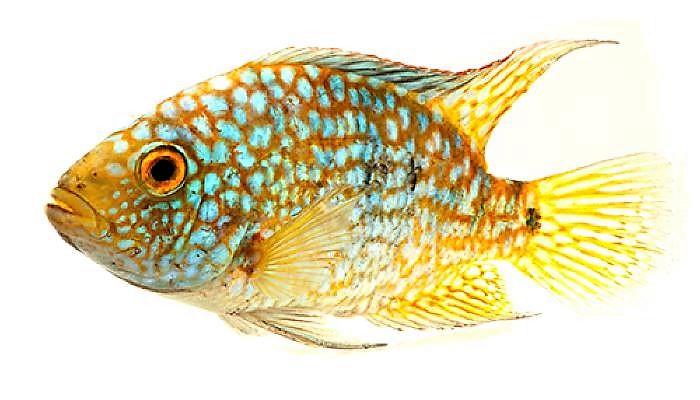 Цихлазома Бриллиантовая или Жемчужная (Herichthys carpintis).