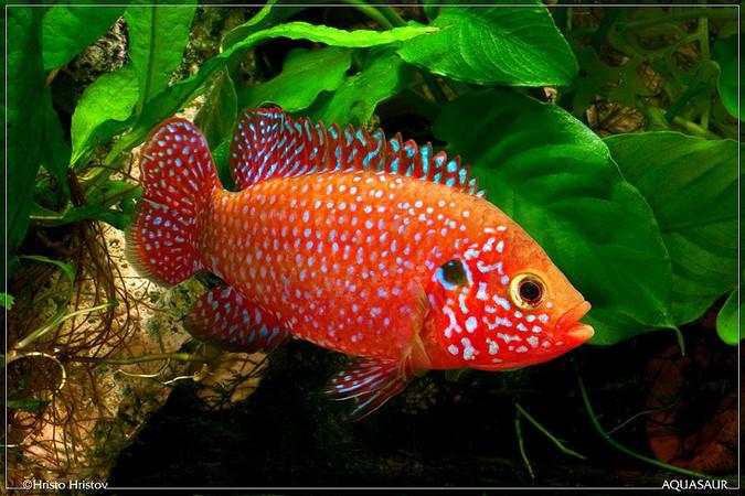Хромис красный (Hemichromis ifalili) самец / фото Hristo Hristov.