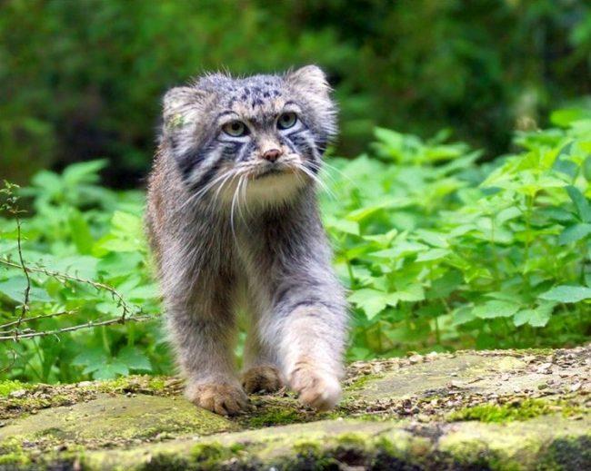 Одинокий воин степей – так характеризуется манул. Кошка отличается сложным характером, ей непросто ужиться с сородичами. По своей сути коты с серьёзным выражением мордочки – одиночки