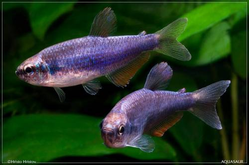 Аквариумная рыбка Керри или ложная Королевская Тетра.