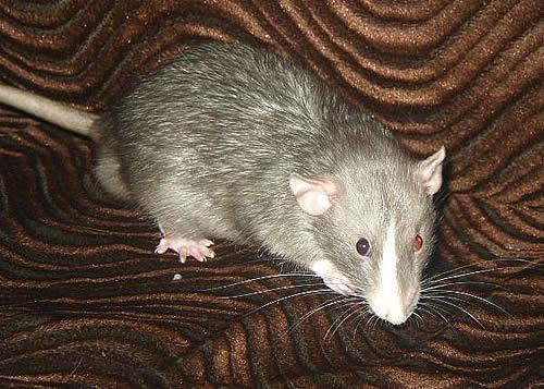 Крыса с разными глазами