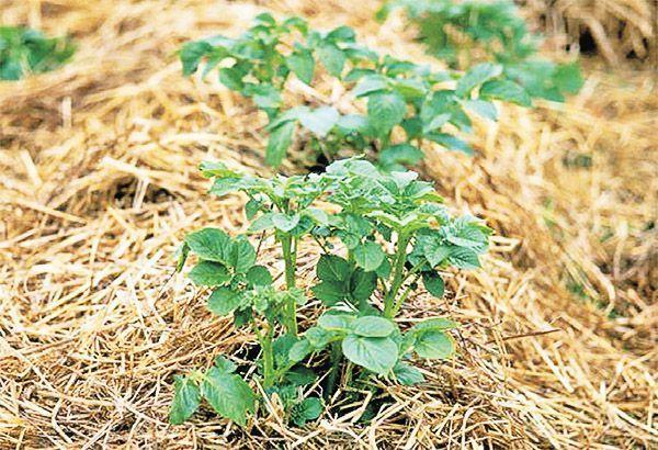 Выращивание картофеля на соломе отзывы 90