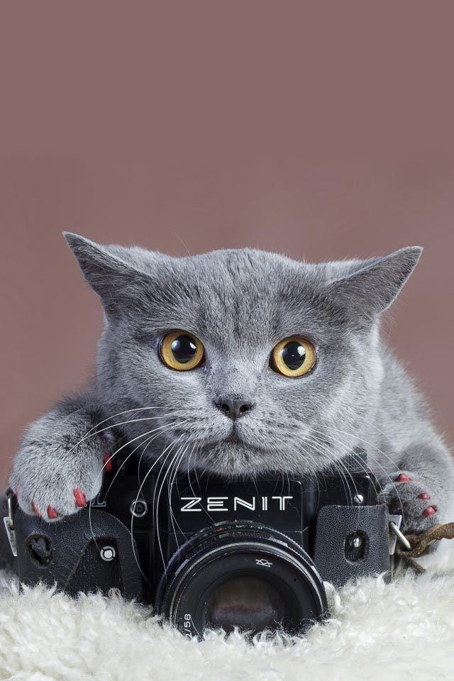 Русская голубая - одна из самых беспроблемных в содержании кошек