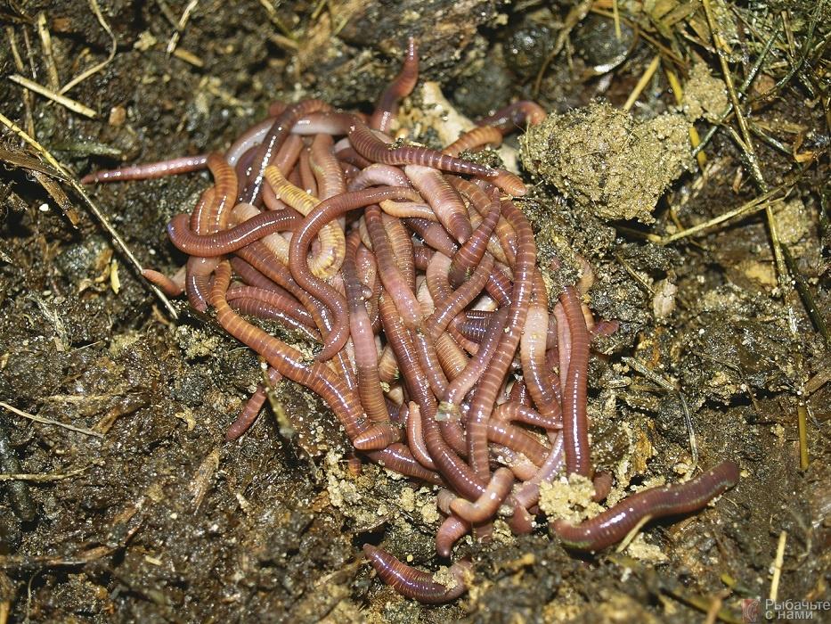 купить дождевого червя для рыбалки