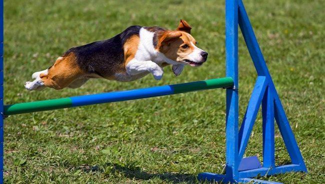 Заниматься аджилити могут абсолютно все. Для хозяина это возможность интересно провести время, для собаки – весело поиграть, ведь именно так песики воспринимают эту чисто людскую затею