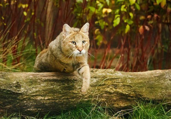 Многие любители домашних питомцев непременно захотят завести эту редкую кошку у себя дома
